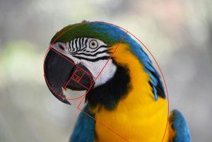 goldener-schnitt-papagai